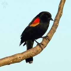 Red-winged Blackbird (Agelaius phoeniceus) (Shutter_Hand) Tags: red usa black male rot bird rouge dallas rojo noir texas sony negro pssaro vermelho ave pajaro alpha aus macho rosso oiseau negre vogel pjaro  a77 uccello   whiterocklake redwingedblackbird rd agelaiusphoeniceus itim   sargento      tordoalirrojo tordocapitn mayitodelacinaga lenscraft slta77v sonyalphaa77 miguelmendozamuoz sigma150500mmf563dgoshsmapolens