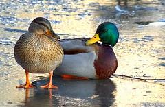 (giuvine eroA) Tags: lake ice birds animals duck couple nikond70 uccelli lupin coppia ghiaccio laghetto oasi scarpin anatre lpin pinocchi volpin lethlpinballplayer giuvineeroa puzzett