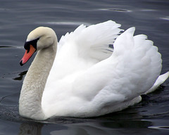 So elegant (billnbenj) Tags: swan cumbria barrow muteswan purewhite