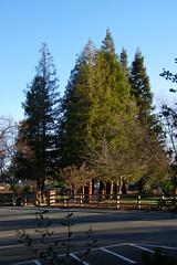 Markham Nature Park and Arboretum (Concord, California) (cseeman) Tags: markhamnatureparkandarboretum arboretums trees redwoods parks naturepark concord california birds bushes shrubs paths publicparks publicgardens nature sunny markhamnatureparkconcord californiaparks californiaarboretums