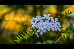 Day  #16 of 365 - Flowers (Sousa Domingos FT) Tags: flower nature beauty canon 50mm big perfect flickr shoot earth explorer brilliant domingos aw lightness photograhy sousa 60d tumblr flickrunitedaward