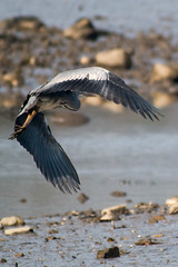 untitled-1708.jpg (Tim Geary) Tags: bird heron nikon lough birding d800 larne islandmagee digiscope ballycarry