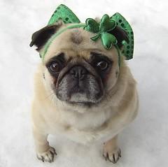 Pug St. Patrick's Day Diva (DaPuglet) Tags: ireland irish dog pets holiday cute green dogs animals costume spring funny paddy lol humor pug meme card patricks pugs stpatricks greeting