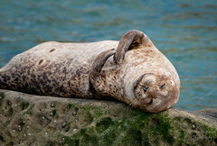 Going to San Diego for some rest (Amy Hudechek Photography) Tags: california beach nap sandiego sleep lajolla seal relaxation harborseal happyphotographer sandiegoapril09 amyhudechek