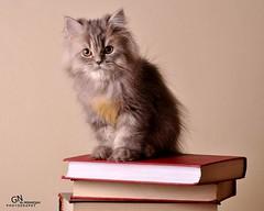 Cat9661 (69) (Cat9661) Tags: animals cat حيوانات مون قطط هاف بسة فيس شيرازي بيكي بساس هملايا