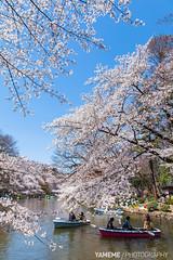 Spring Day / Tokyo, Japan (yameme) Tags: travel flowers nature japan canon eos tokyo  sakura cherryblossoms  mitaka    inokashirapark   musashino  24105mmlis  5dmarkii 5d2