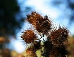 (clounico) Tags: blue brown canada quebec bleu brun spidersilk sepaq commonburdock ortoneffect parcdesilesdeboucherville effetorton fildaraigne petitebardane