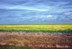Field of Plenty (Aspenbreeze) Tags: morning flowers field rural countryside am texas farm country earlymorning minimal range yellowflowers cloudysky opensky dalharttexas aspenbreeze moonandbackphotography topphotospots tpslandscape gpsetest bevzuerlein
