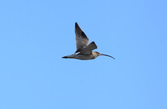 Flight of the Curlew (riggy-riggo) Tags: beach canon coast kent spring bluesky 70300mm mudflats waders nationalgeographic curlew seasalter shorebirds deborahrigden riggyriggo