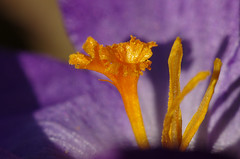 Crocus sp. (AnneTanne) Tags: