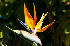 flower birdofparadise lapalma