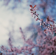 these fleeting charms of earth (after october) Tags: film mediumformat spring blossoms plum bloom plumblossoms hasselblad500cm fujiprovia400