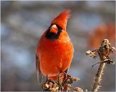 S0230204R (Joms_Nature) Tags: bird cardinal birding northerncardinal hs50 fujihs30 hs50exr