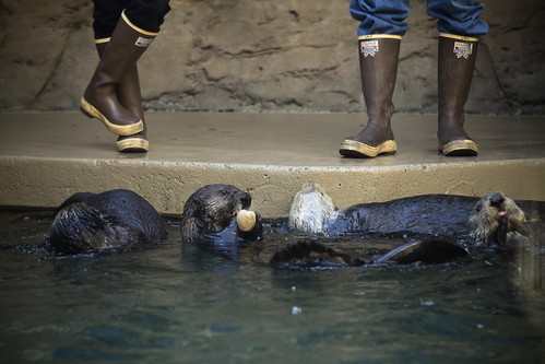 feeding boots snacktime otters rubberboots seaotters seattleaquarium xtratuf brownrubberboots