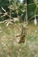 in the grass... (from archive) (green_lover) Tags: green nature grass animals meadow insects grasshopper
