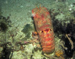 Slipper lobster (pasto) Tags: ocean travel vacation flores nature water indonesia asia diving lobster scubadiving slipperlobster komodo labuanbajo rinca komododiving