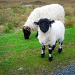 "The Cutest Lamb Ever <a style=""margin-left:10px; font-size:0.8em;"" href=""http://www.flickr.com/photos/89335711@N00/8596659992/"" target=""_blank"">@flickr</a>"