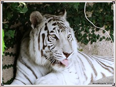White Tiger. Auborn Zoo, New Orleans. 13th May 2016 (Tigeress blue) Tags: whitetiger tiger animal wendyminto aubornzoo neworleanszoo