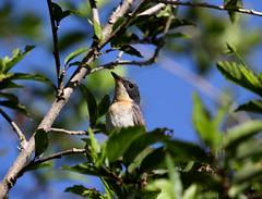 IMG_6528 (Dan Armbrust) Tags: armbrust danarmbrust australia queensland mossman flycatcher satin cannon birds