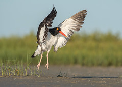 Jump for Joystercatcher (PeterBrannon) Tags: bird florida haematopus nature northbeach shorebird wildlife wings americanoystercatcher ocean oystercatcher stretching