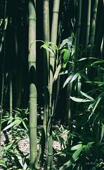Bamboo (brentus69) Tags: wild tree green forest hawaii nikon waikiki oahu bamboo tropical d4 nikond4