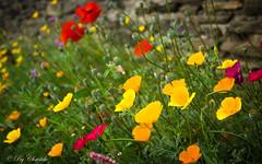 Ptillantes fleurs d't (christelerousset) Tags: couleurs t summer prigord flower