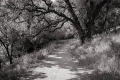we are the fractulated tendrils of this reality (Super G) Tags: nikon286 woodside california bw blackandwhite trees forest tendrils path oak