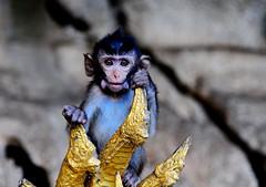 ,, Baby Alien ,, (Jon in Thailand) Tags: monkey baby primate cave jungle nikon nikkor d300 175528 eyes ears alien babyalien babymonkey blue gold mouth