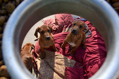 2016.04.10 My 9 Nephews (Katie Wilson Photography Adventures) Tags: rr rhodesian ridgeback puppies my nephews silly infants bath time play love dirt boys will be so sweet playful tired feeding little baby african lion hounds rhodesians sweetest biased auntie katie wilson photo adventures them puppy dog big babies lazy bones snacks must comfortably hard round up