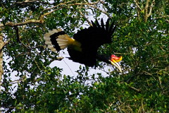 Bird, Sungai Kinabatangan River Excursion, Day 2, Sabah, Malaysia (ARNAUD_Z_VOYAGE) Tags: kota kinabalu sabah malaysia island borneo eastern river landscape boat capital district rajang mosque house building street jesselton west state coast mount sea market color