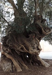 Olivo (Lachezar G.) Tags: olivo olive olivetree tree baum olivenbaum trunk tronco arbol illesbalears islasbaleares majorca mallorca baleares balears
