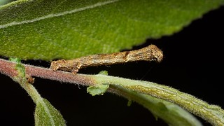 geometer larva