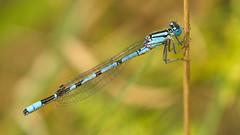 Common Blue Damselfly, male (Enallagma cyathigerum) (Stefan Zwi.) Tags: common blue damselfly becherjungfer sony a7 ilce7 sigma 105mm macro enallagmacyathigerum ngc npc