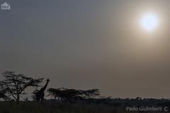 tramonto con giraffa, Masai Giraffe at sunset, Giraffa camelopardalis tippelskirchi (paolo.gislimberti) Tags: tanzania serengeti africanparks africanmammals parchiafricani mammiferiafricani africanlandscapes paesaggiafricani animaliambientati animalsintheirenvironments savannah savana giraffesilhouette silhouettedigiraffa controluce backlighting safarifotografico photographicsafari wilderness wildlife turismo tourism