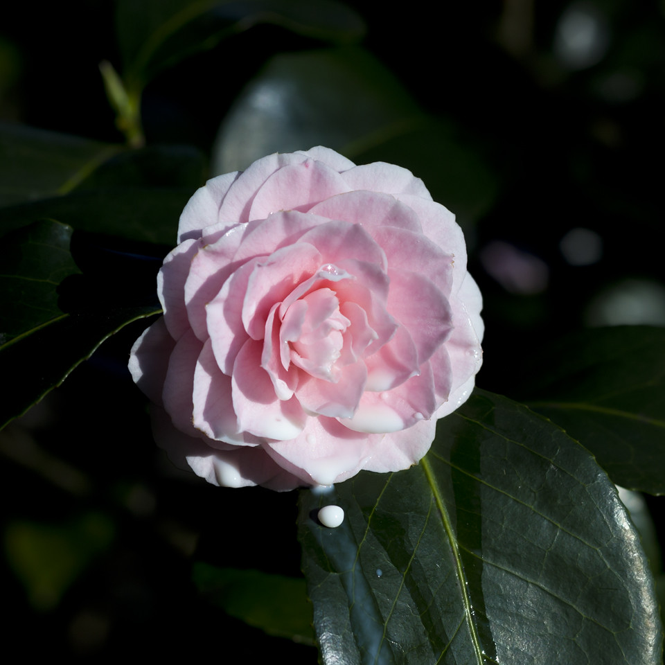 the world 39 s best photos of camellia and fleur flickr hive mind. Black Bedroom Furniture Sets. Home Design Ideas