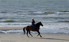 Belgian coast (Natali Antonovich) Tags: belgiancoast northsea sea water parallels portrait horse horses horseman horsemen lifestyle tradition relaxation wenduine flight seasideresort seashore seaboard seaside beach