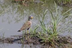 African Wattled Lapwing (Vanellus senegallus) (Brendan A Ryan) Tags: africanwattledlapwing uganda african lapwing vanellussenegallus