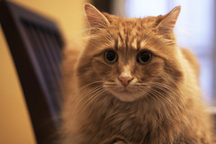 Clem Thursday: Cleminem (Photo Amy) Tags: adorable aminal canon50d cat cuddly cute cuteness ef50mm18 eartufts feline fluffy fur furry ginger kitten longhair longhaired orange pet precious red tabby toefur whisker whiskers