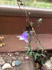 Stmning av hst. En sista blomma (Moniqas) Tags: autumn sweden flowers blue fs160918 stamning fotosondag