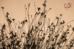 light 'n flowers-7383 (gov_phil) Tags: clair obscur sunset