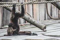 24/07/2016 (Mysecrethistory) Tags: gaiazoo gaia zoolife zoo zooanimals zoodays zooday canon canonphotography animalkingdom animals wildlife monkeybusiness monkey monkeys