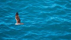 Osprey Straddie.jpg (tomorrowdog) Tags: elements osprey straddie northstradbrokeisland bird birds sea ocean raptor seaside shore outdoor outdoors blue birdofprey