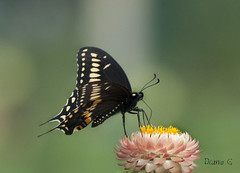 Swallowtail On Straw Flower (Diane G. Zooms---Mostly Off) Tags: blackswallowtail easternblackswallowtail dianegiurcophotography alittlebeauty sunrays5 ngc