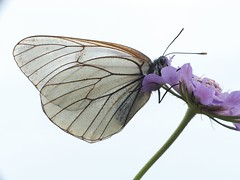 Baum-Weiling [ Black-veined white ] [ Hagtornsfjril ] ( Aporia crataegi ) (ritschif) Tags: baumweisling aporiacrataegi blackveinedwhite hagtornsfjril makro tagfalter schmetterlinge insekten natur outdoor butterfly dagfjrilar tier