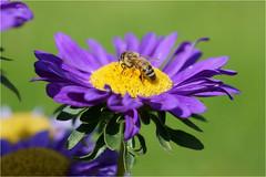colorful............ (atsjebosma) Tags: macro flower bee bloem bij colorful kleurrijk atsjebosma sanssoucy germany potsdam nature summer zomer 2016 ngc