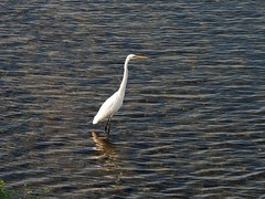 Great egret () (Greg Peterson in Japan) Tags: egretsandherons shiga rivers birds japan wildlife ritto deba yasugawa shigaprefecture jpn