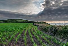 Sembrado en la costa (ccc.39) Tags: asturias gozn costa mar sembrado lineas curvas cielo nubes rayos plantas cantbrico