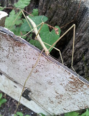 Stick insect (tagawa) Tags: stickinsect insect wildlife japan