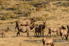 Elk bull reminds his harem who is in charge