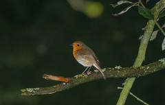 Robin (meccabolix) Tags: fe 70300mm f4556 g oss sel70300g a7rii sony outdoor animal ngc bird robin magmod magbeam nissin di700a